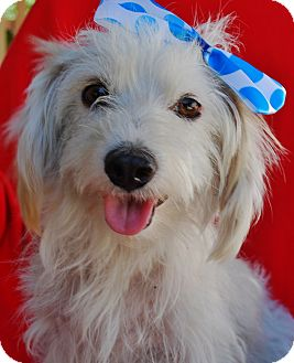 Havanese/Terrier (Unknown Type, Small) Mix Dog for adoption in Irvine, California - Camry