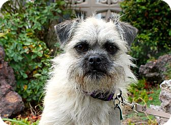 Brussels Griffon/Terrier (Unknown Type, Small) Mix Dog for adoption in Los Angeles, California - Kat