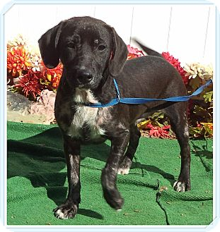 Labrador Retriever Mix Dog for adoption in Marietta, Georgia - TRIP (R)