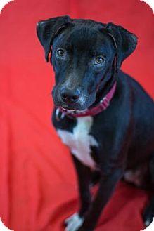 Labrador Retriever Mix Dog for adoption in Bradenton, Florida - Valentine