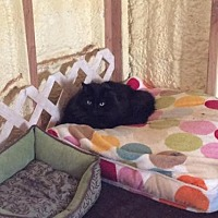 Domestic Mediumhair Cat for adoption in Parker Ford, Pennsylvania - Pandora
