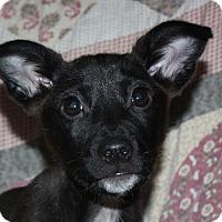Adopt A Pet :: Nikki - in Maine - kennebunkport, ME