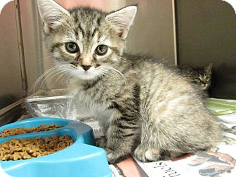Domestic Shorthair Kitten for adoption in Windsor, Virginia - Ashley