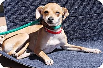 Italian Greyhound/Chihuahua Mix Dog for adoption in Gilbert, Arizona - Jodi