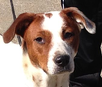 Hound (Unknown Type)/Labrador Retriever Mix Dog for adoption in Staunton, Virginia - Khole