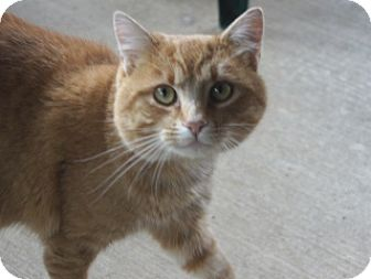 Domestic Shorthair Cat for adoption in Libby, Montana - Finn