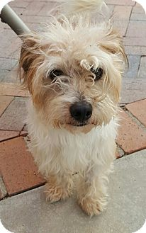 Maltese/Poodle (Miniature) Mix Dog for adoption in Thousand Oaks, California - Max