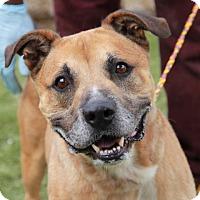 Adopt A Pet :: Optimus - Greensboro, NC