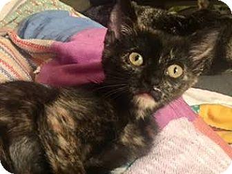 Domestic Shorthair Kitten for adoption in Fort Worth, Texas - Gizmo the lap kitten
