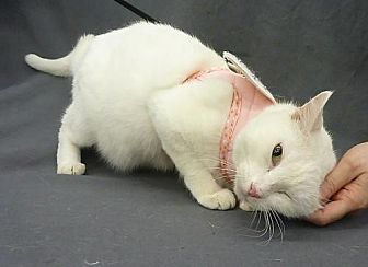 Domestic Shorthair Cat for adoption in League City, Texas - Mia