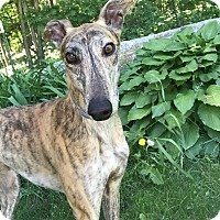 Adopt A Pet :: Arya - Swanzey, NH