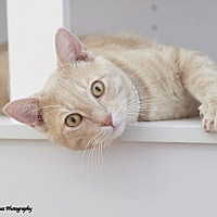 Domestic Shorthair Cat for adoption in Chattanooga, Tennessee - Scotch