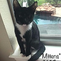 Domestic Shorthair Kitten for adoption in Spring, Texas - Mittens