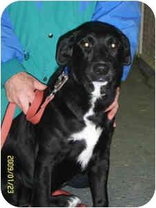 Labrador Retriever Mix Puppy for adoption in Elliot Lake, Ontario - Ebony