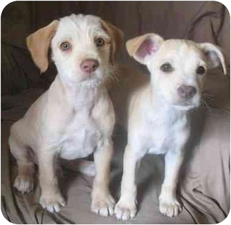 Terrier (Unknown Type, Small) Mix Puppy for adoption in Poway, California - AMOS AND ANDY