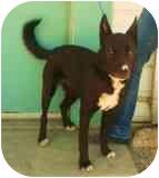 German Shepherd Dog/Border Collie Mix Dog for adoption in Bishop, California - Jacquie O