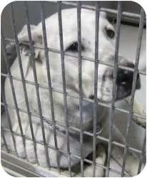 Boxer Mix Dog for adoption in Kansas City, Missouri - Spalding