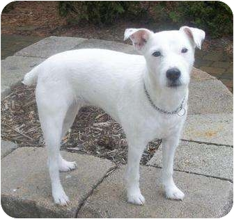 Jack Russell Terrier Mix Dog for adoption in Columbus, Ohio - Dolly