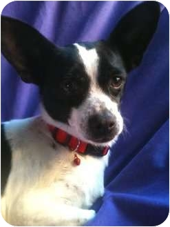 Rat Terrier/Chihuahua Mix Dog for adoption in Irvine, California - VICKY