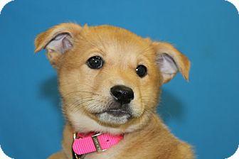 Corgi/Corgi Mix Puppy for adoption in Broomfield, Colorado - Koko