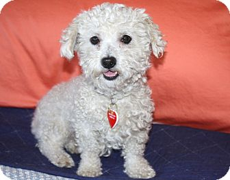Poodle (Toy or Tea Cup) Mix Dog for adoption in Los Angeles, California - Winnie