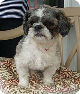 Shih Tzu Dog for adoption in Beacon, New York - Leo (WC)