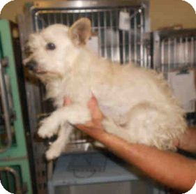 Westie, West Highland White Terrier Mix Dog for adoption in Yuba City, California - Unnamed