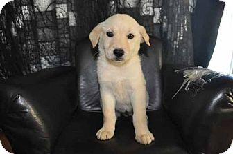 Labrador Retriever/Golden Retriever Mix Puppy for adoption in Long Beach, California - Hannah
