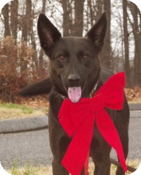German Shepherd Dog/Shepherd (Unknown Type) Mix Dog for adoption in Baltimore, Maryland - Happy boy Ike