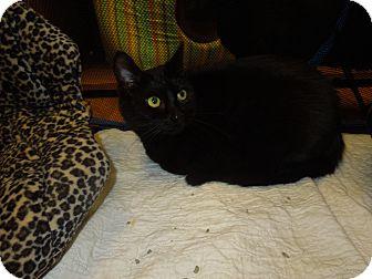 Domestic Shorthair Cat for adoption in Medina, Ohio - Cacia