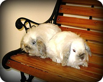 Lop, Holland Mix for adoption in Williston, Florida - Expo and Impo