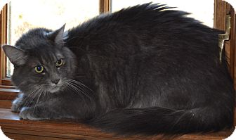 Norwegian Forest Cat Cat for adoption in Simi Valley, California - Athena