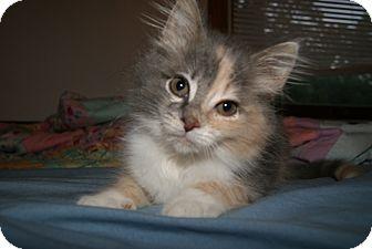 Calico Kitten for adoption in Trevose, Pennsylvania - Taffy