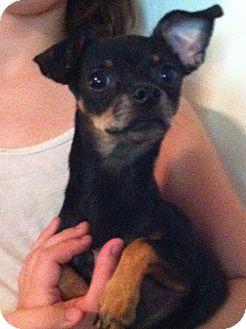 Chihuahua/Dachshund Mix Dog for adoption in geneva, Florida - Tyler