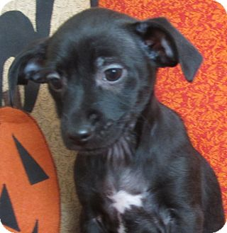 Chihuahua Mix Puppy for adoption in Manchester, Connecticut - Ariel