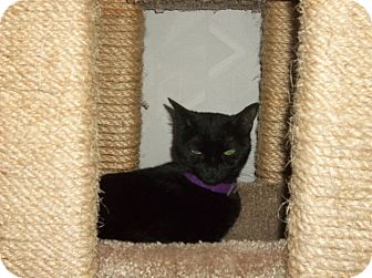 Domestic Shorthair Cat for adoption in Columbia, Maryland - Courtesy Post_Matilda