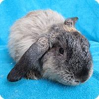 Adopt A Pet :: Girl Puff - Los Angeles, CA