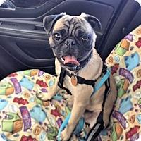Adopt A Pet :: Pippin - Austin, TX