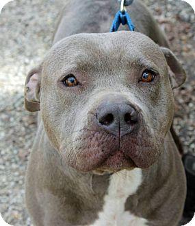 American Staffordshire Terrier Dog for adoption in Boston, Massachusetts - Heinrich