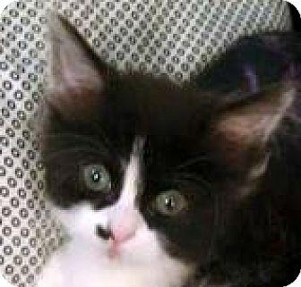 Domestic Shorthair Kitten for adoption in Walworth, New York - Register