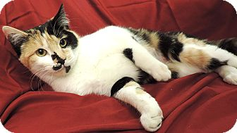 Domestic Shorthair Cat for adoption in Sioux City, Iowa - BIG GIRL