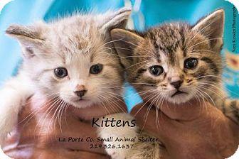 Domestic Shorthair Kitten for adoption in La Porte, Indiana - More Kittens