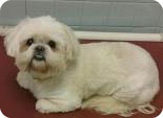 Shih Tzu Mix Dog for adoption in Columbus, Georgia - Boquita 0B5B