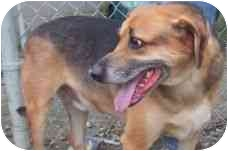 Black and Tan Coonhound/Shepherd (Unknown Type) Mix Dog for adoption in Richmond, Virginia - George