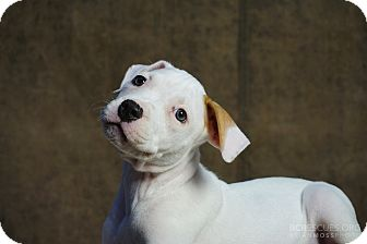 American Pit Bull Terrier Mix Puppy for adoption in Cliffside Park, New Jersey - FLIRT