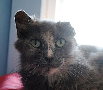 Domestic Longhair Cat for adoption in Middletown, New York - Flip Flop