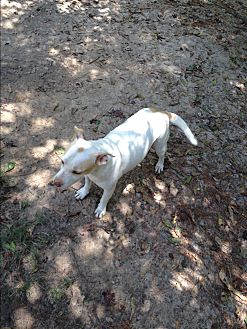 Pit Bull Terrier/Terrier (Unknown Type, Medium) Mix Dog for adoption in Pointblank, Texas - Grace