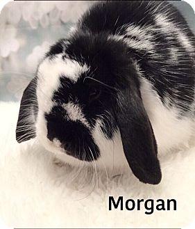 Lop, Holland Mix for adoption in Auburn, California - Morgan