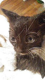 Domestic Shorthair Kitten for adoption in Levelland, Texas - Crystal