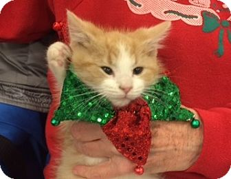 Domestic Mediumhair Kitten for adoption in Wilmore, Kentucky - Rodney Goldenrod